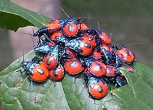 Aggregation of Immature Florida Predatory Stink Bugs