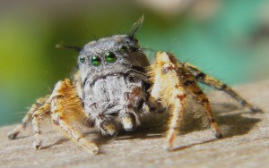 Jumping Spider:  Male or Female???
