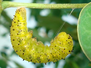 Orange Sulphur Caterpillar