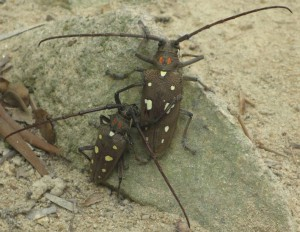 Chinese Longhorn Beetles