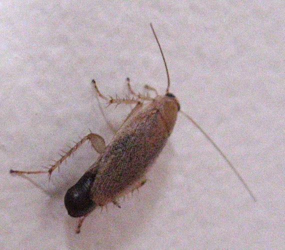 Cockroach with Ootheca - What's That Bug?