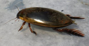 Predaceous Diving Beetle from Bali