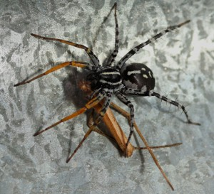 Bug Mimic Spider eats Net Casting Spider