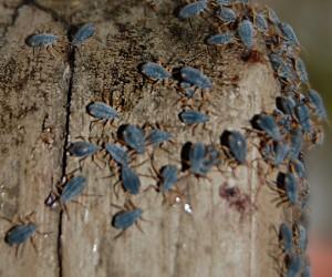 Unknown Hemipterans