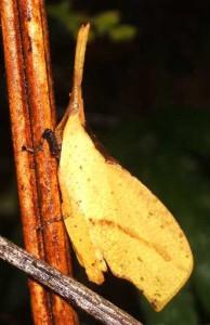 Unknown Grasshopper from Borneo