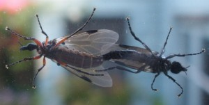 Mating March Flies in New Zealand