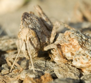 Stone Grasshopper from Namibia