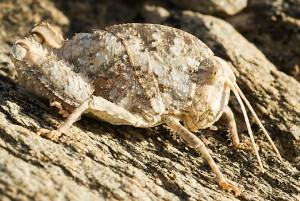 Stone Grasshopper from Namibia