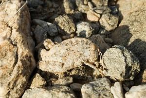 Stone Grasshopper