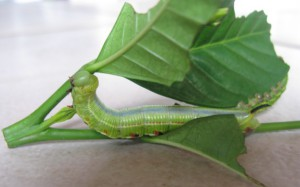 Bee Hawkmoth Caterpillar