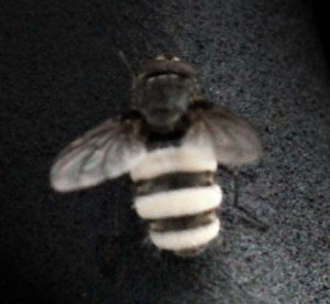 Tachinid Fly, we believe