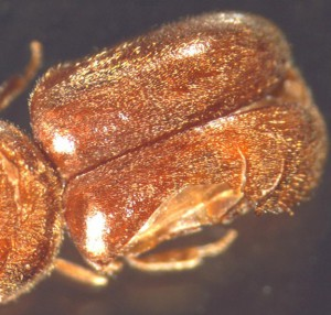 Drugstore Beetle, we think