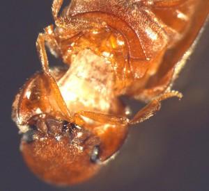 Drugstore Beetle, we think