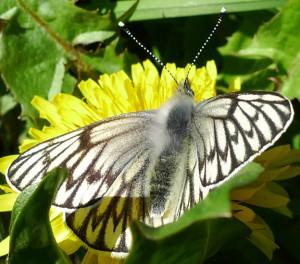 Unidentified Gossamer Winged Butterfly