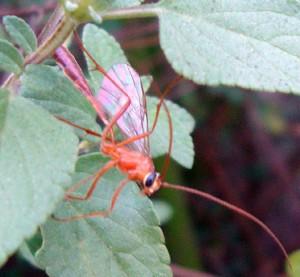 Short Tailed Ichneumon Wasp