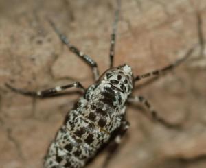 Female Mottled Umber Moth