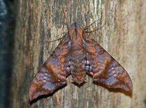 Nyceryx hyposticta