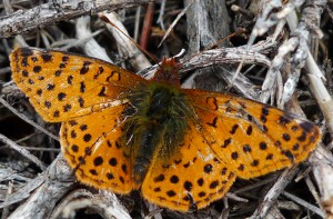 Unknown Brush Footed Butterfly, we think