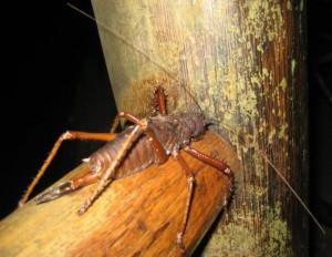 Longhorned Orthopteran