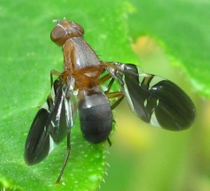 Picture Winged Fly
