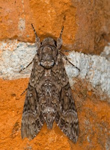 Pink Spotted Hawkmoth