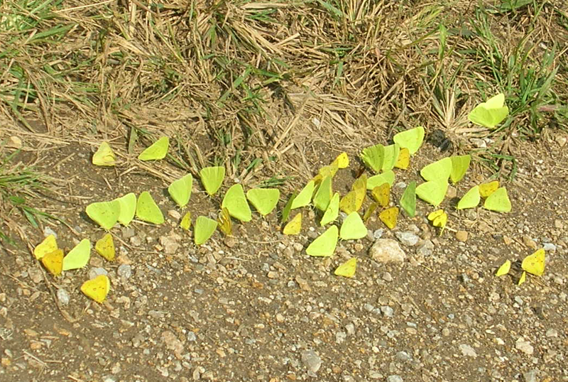 Puddling Cloudless Sulphurs and kin