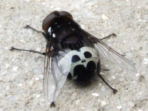 Tachinid Fly, we think