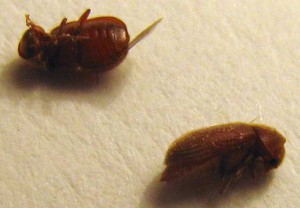 Drugstore Beetles