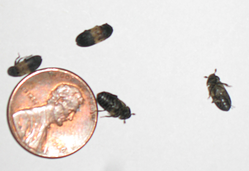 Larder Beetles. Larder Beetles   What s That Bug