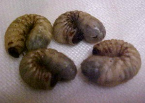 May Beetle Grubs