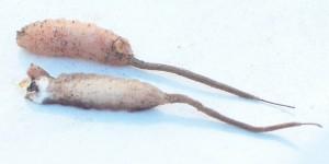 Rat Tailed Maggots