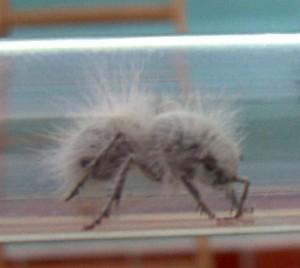 Thistledown Velvet Ant