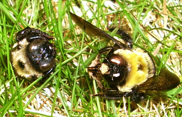 Eastern Carpenter Bees Dead From Unknown Causes