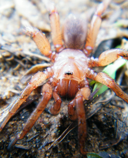 Trap Door Spider - What\'s That Bug?