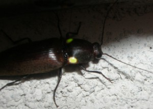 Glowing Click Beetle