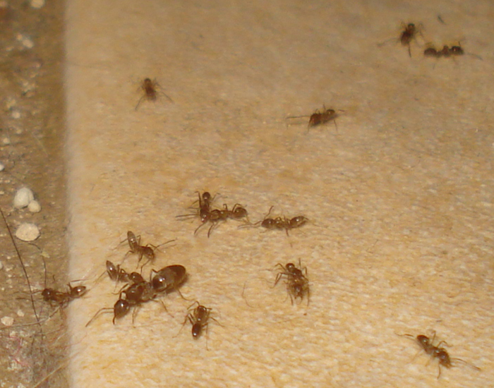 Argentine ants bite - photo#22