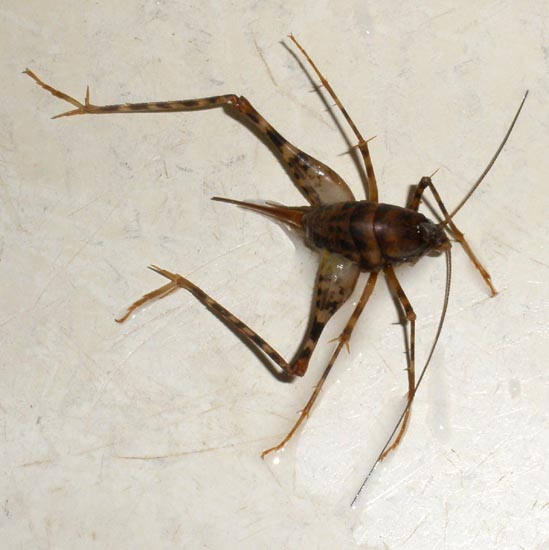 Image Result For Mole Cricket Treatment