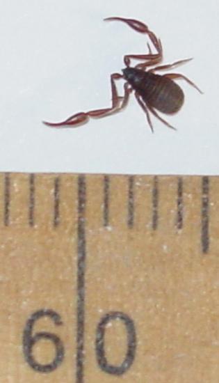 pseudoscorpion and cerambycid beetle relationship trust