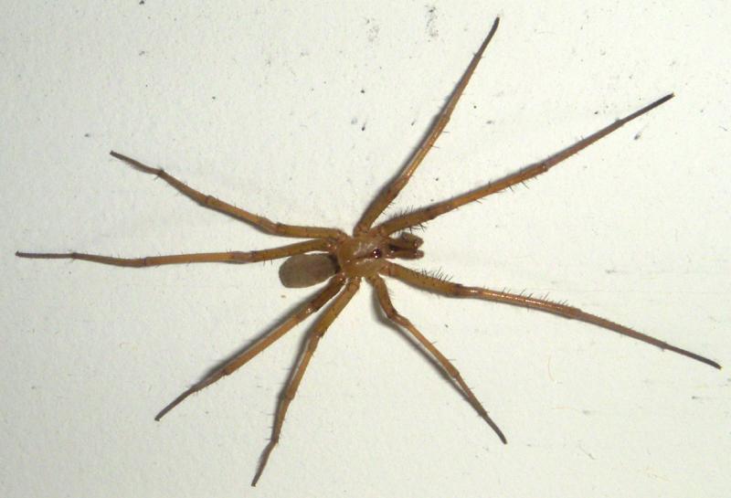 Chilean recluse spider  Wikipedia