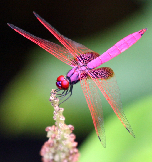 Magenta Dragonfly from...