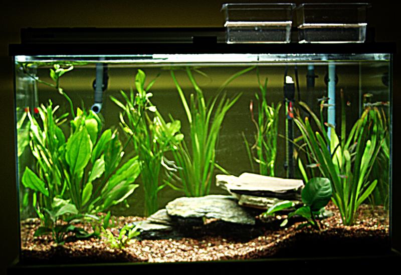 50 Gallon Freshwater Aquarium Setup
