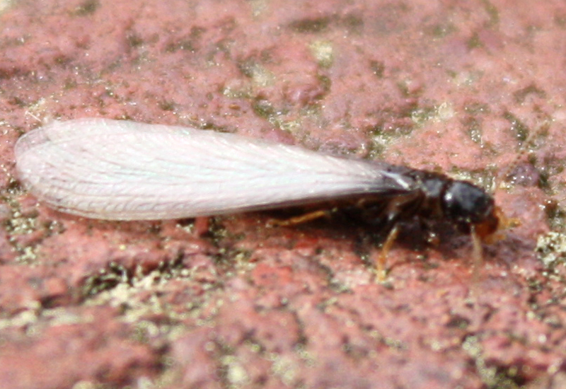 flying termite identification image search results