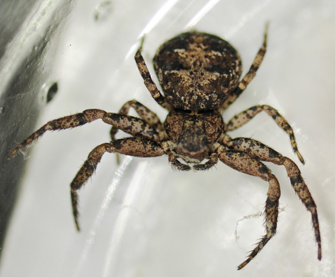 Crab Spider Possibly Bark Crab Spider What S That Bug
