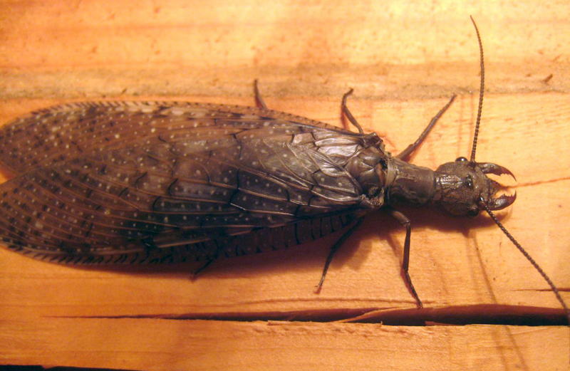 Dobsonfly What S That Bug