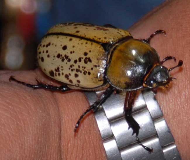 Hercules Beetle Larva