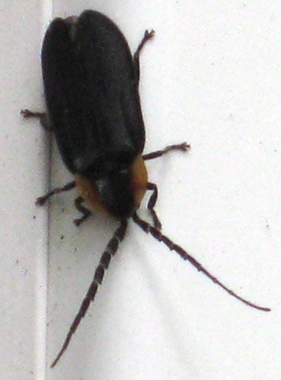 Black And Brown Beetle In House Design