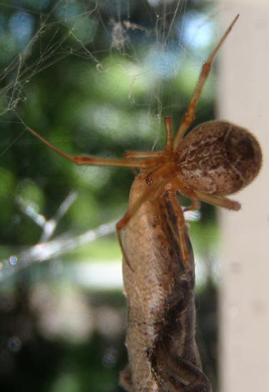 Giant Spider Ea...