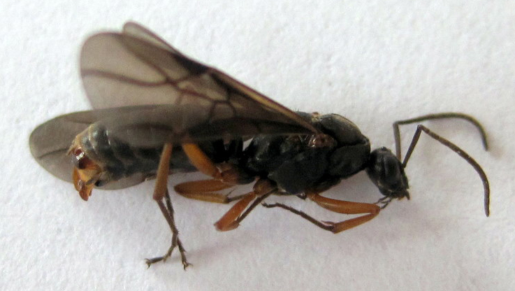 Power Ant Fly : Flying ant images frompo