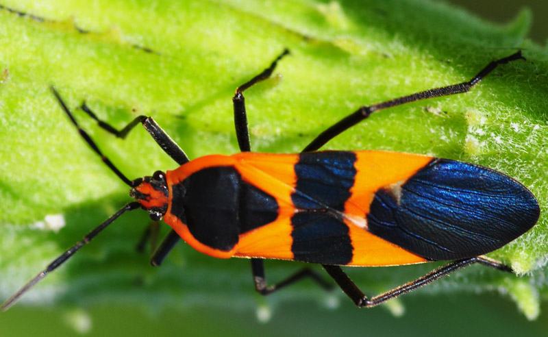 large milkweed bug what 39 s that bug. Black Bedroom Furniture Sets. Home Design Ideas