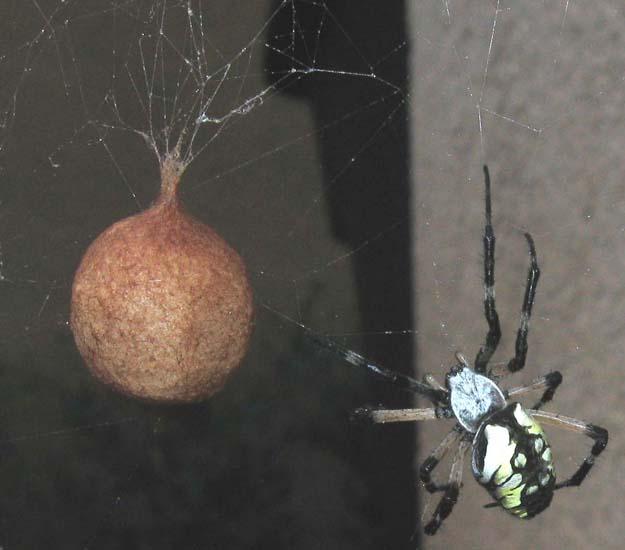 Black widow egg sac